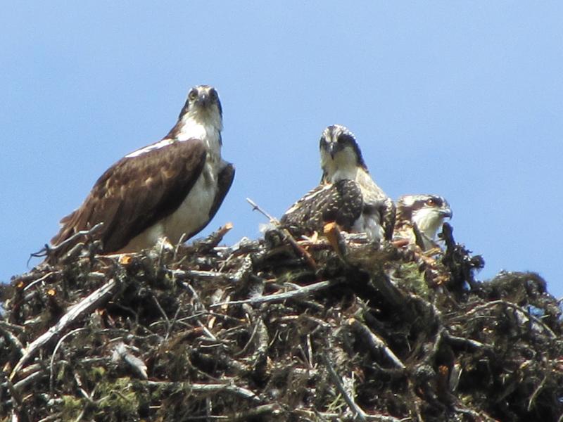 Murtle Lake Ospreys