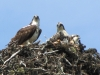 Murtle Lake Ospreys