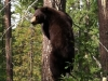 Bear up tree