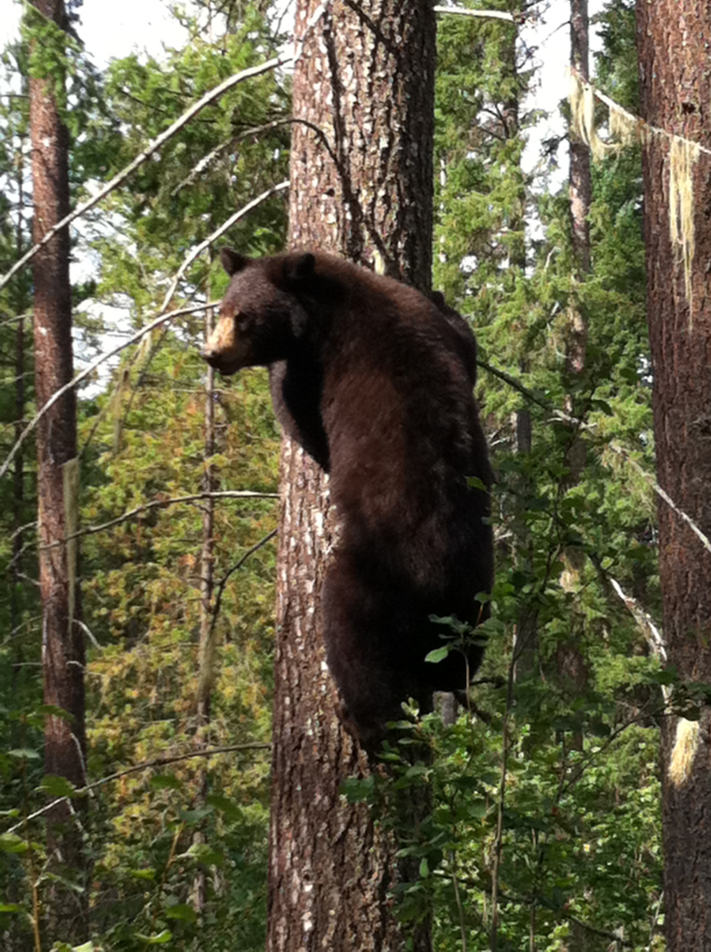 Bear up tree